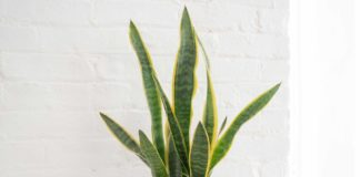 Advantage of having a snake plant in your home